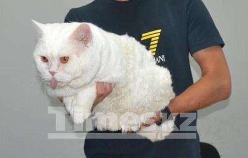 «Эх вы, люди…» В Актобе породистый кот лишился своего достоинства по решению суда