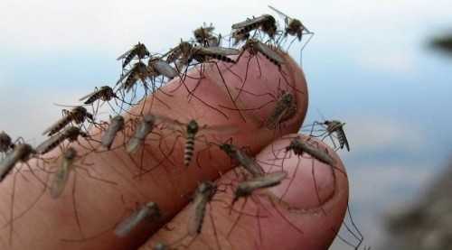 Астанчане страдают от полчищ комаров