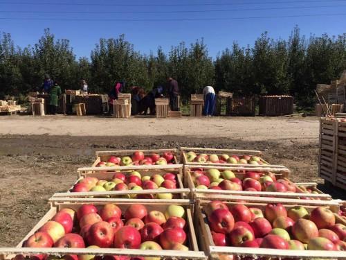 Небывалый урожай яблок уродился в этом году в Туркестанской области