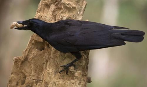 Учёные обнаружили у ворон способность определять вес предмета на глаз