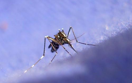 Учёные научились отключать аппетит у комаров