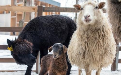 Наделавшей шума овечке казахской породы выбрали имя в Москве