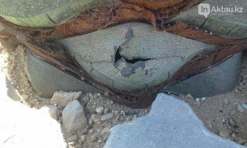 Вандалы начали ломать пальмы на набережной Актау