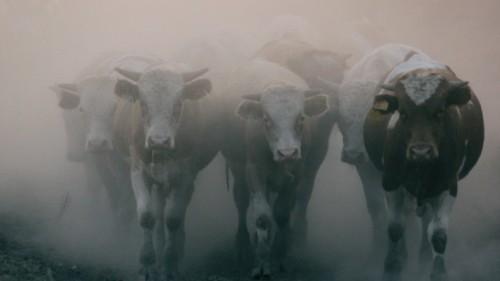 Для импорта живого скота из Казахстана началось строительство скотобойни в Китае