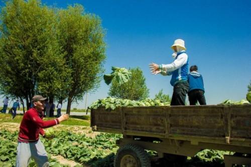 Первые 70 тонн капусты собрали в Мактааральском районе Туркестанской области