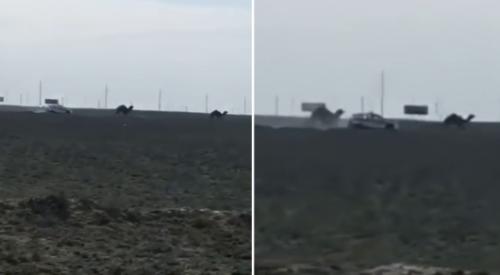 Погоню за верблюдами в Актау объяснили в полиции
