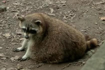 Посетители зоопарка перекормили енотов и довели их до ожирения