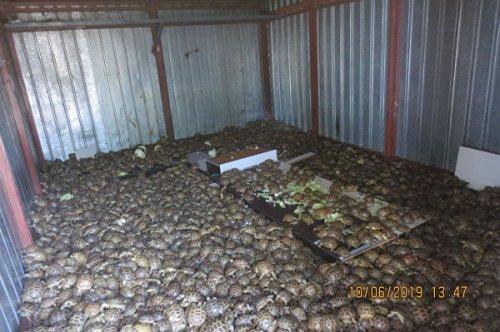 В Россию пытались ввезти более четырех тысяч черепах под видом капусты