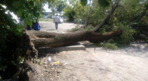 Дерево упало на мать с детьми в Алматы, женщина погибла