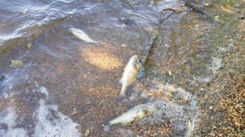 Мёртвая рыба обнаружена на берегу Тобола