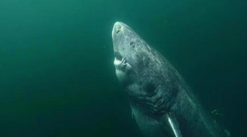 Учёные обнаружили акулу, которая старше Шекспира. Ей за 500