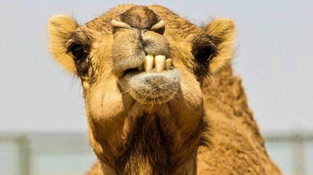 «Весенний верблюд нюхал рельсы и линял»: Родителей в Казахстане возмутили тексты в школьных учебниках