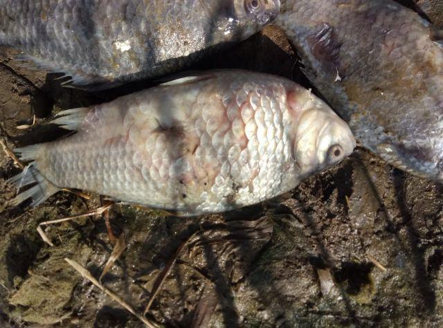 В Костанайской области массово вымирает рыба