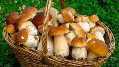 Употребление грибов может предотвратить самый распространенный мужской рак
