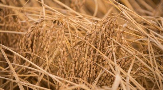 Муляжи из навоза вместо государственного запаса зерна нашли в ВКО