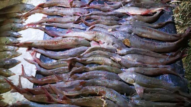 В Павлодарской области у браконьеров изъяли 136 осетровых