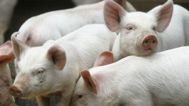Кожу генномодифицированной свиньи применили для лечения ожогов у человека
