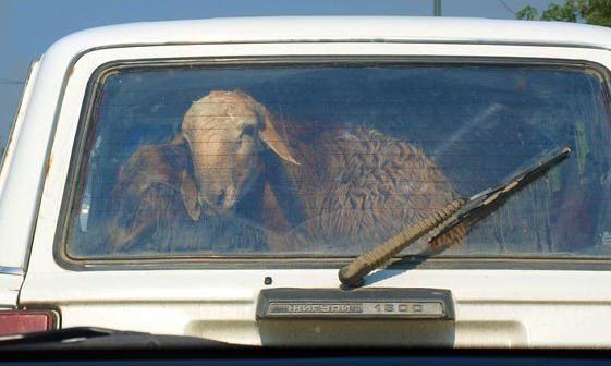 В Актобе скотокрады перевозили овец в багажнике и салоне легковушки