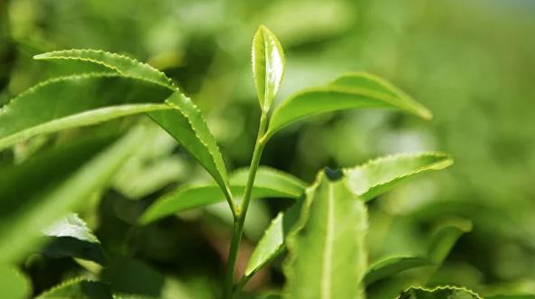 Ученые объяснили противораковый эффект зеленого чая