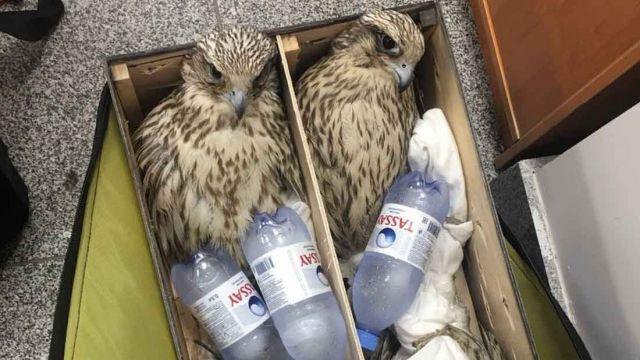 Сотрудник аэропорта Нур-Султана отправил в ОАЭ 30 редких соколов