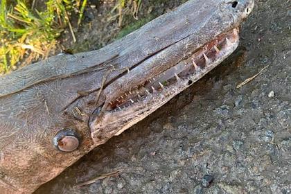 Похожее на крокодила загадочное существо вынесло на берег реки