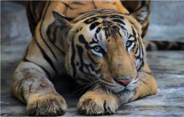 В США выявили первый в мире случай заражения тигра коронавирусом