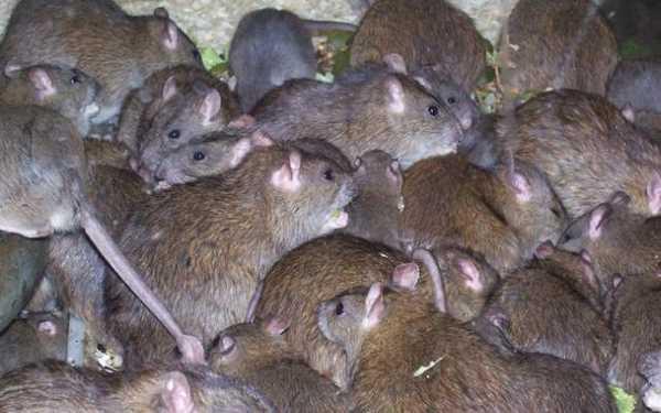 Крысы атаковали жилой район Усть-Каменогорска