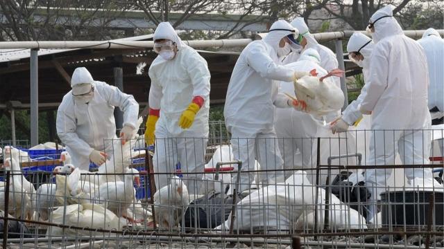 Казахстан ввел ограничения на границе с РФ из-за обнаружения птичьего гриппа