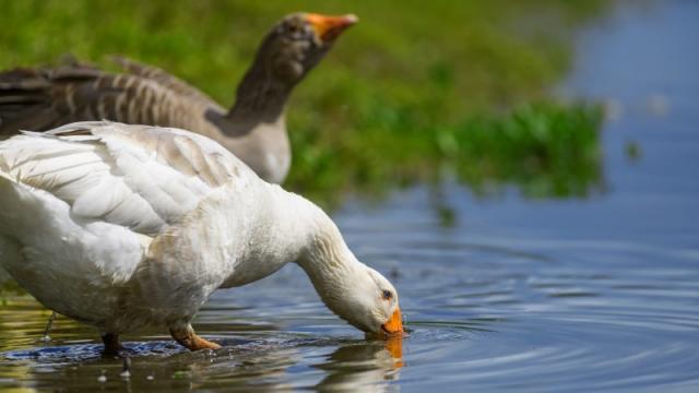 Названа причина вспышки птичьего гриппа на севере Казахстана