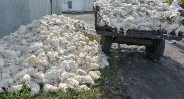 Из-за птичьего гриппа в шести областях Казахстана ввели карантин