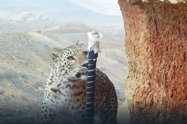 Переднеазиатский леопард замечен на территории Устюртского заповедника