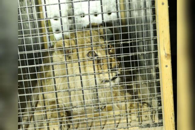 Полицейские Шымкента в течение суток нашли львенка