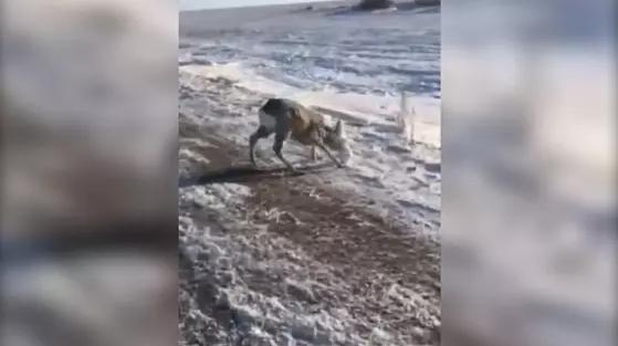 Косулю с налипшим на морду снегом спасли на трассе в Карагандинской области