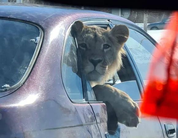 Позирующий из окна легковушки лев удивил карагандинцев