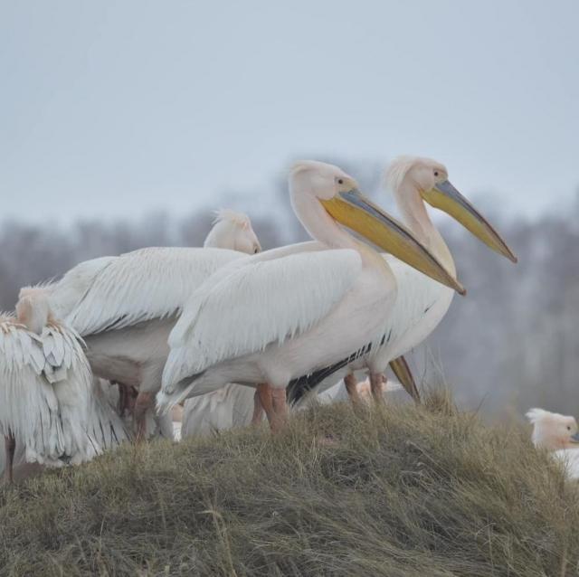 В Северном Казахстане собирают деньги на рыбу для голодающих пеликанов