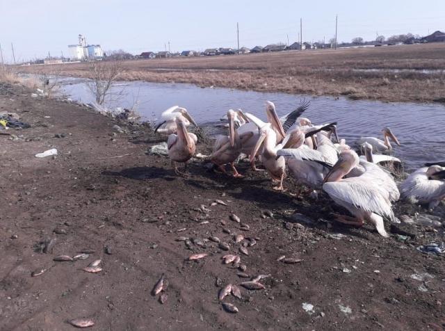 Почти 100 килограммов рыбы собрали для спасения голодающих пеликанов на севере Казахстана