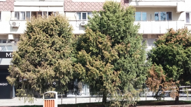 Грибок из Европы убивает хвойные деревья в Алматы - экологи