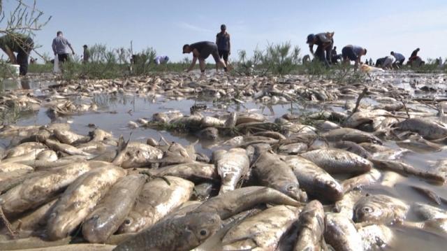 Рыба гибнет в лиманах в Атырауской области