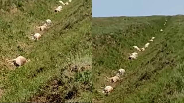 «372 мертвые туши»: массовая гибель сайгаков произошла в ЗКО