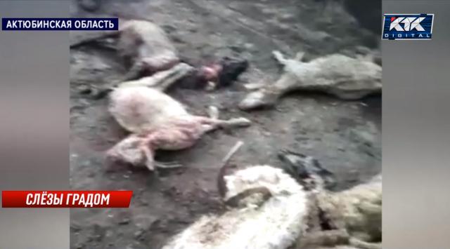 От сильного града и холода в Актюбинской области погибло стадо овец и коз