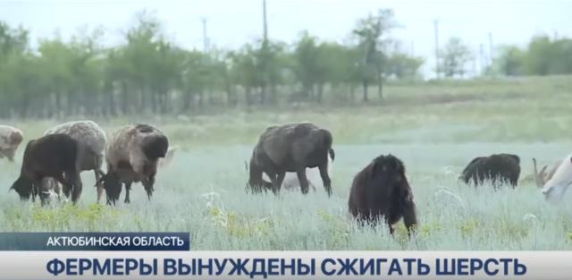 Фермеры Актюбинской области вынуждены сжигать шерсть из-за проблем со сбытом