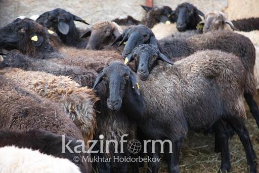 Как изменились цены на скот в связи с засухой в ряде регионов Казахстана
