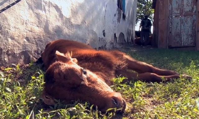 Неизвестная болезнь вызвала падеж скота сразу в двух регионах