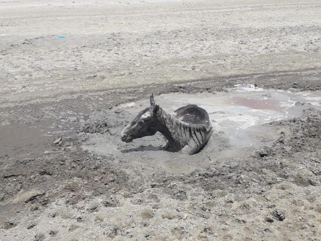 Ищут воду, а находят смерть. Скот гибнет в Атырауской области от нехватки воды