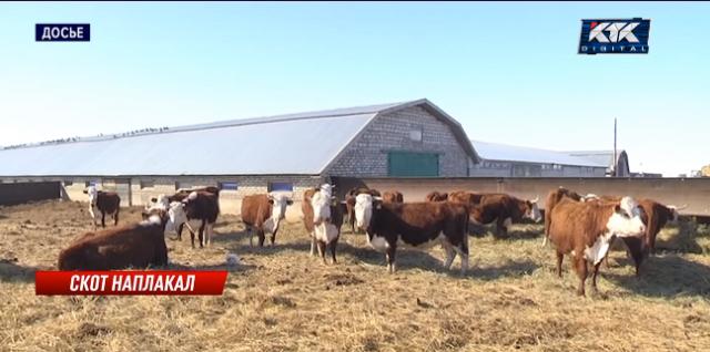«Идет развал животноводства»: скотоводы требуют ускорить выдачу субсидий